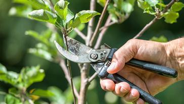 Fotografía d'unes tisores podant una branca d'arbre